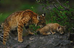 eye color - illustration bobcat mother and kitten
