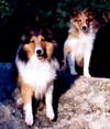 A Sheltie: Kelly and Chipper (puppy) on a rock.