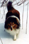 A Sheltie (Shetland Sheepdog): Jeremy in snow