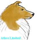 golden sable sheltie, head color is sable