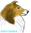 shaded sable sheltie, head color is sable with black overlay