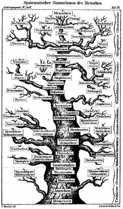 Evolutionary tree of humans from Ernst Haeckels Anthropogenie